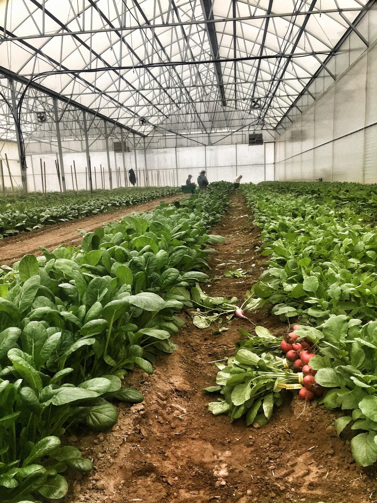 Greenhouse-radish