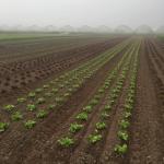 LettuceField